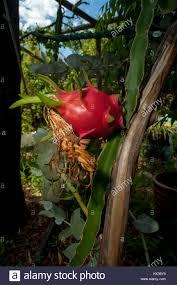 dragon fruit growing stock photos u0026 dragon fruit growing stock