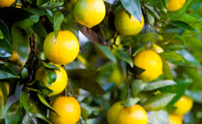 Good Backyard Trees by Best Backyard Citrus Burke U0027s Backyard