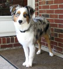 australian shepherd 14 weeks the 25 best blue merle australian shepherd ideas on pinterest