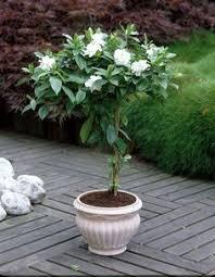 Fragrant Plants For Pots - madagascar jasmine climbing fragrant flowers gardening