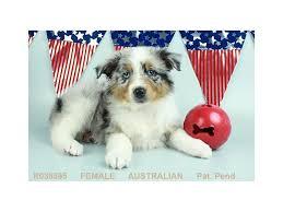 australian shepherd apartment australian shepherd puppies petland las vegas nv