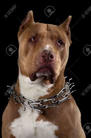 american pitbull terrier jumping pit bull terrier stock photos u0026 pictures royalty free pit bull