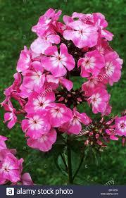 Phlox Flower Phlox Pink Flame Stock Photos U0026 Phlox Pink Flame Stock Images Alamy