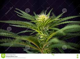 cannabis flower cannabis in a flower pot isolated on white stock image image