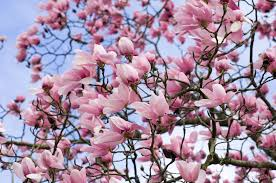 when to prune flowering trees and shrubs