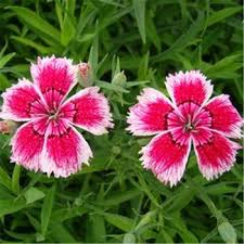carnation flowers seeds ornamental plants low price carnation