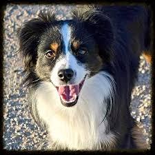 australian shepherd yahoo answers 3l lamberts legacy livestock mini aussie puppies for sale texas