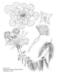 maine native plants water chestnut description