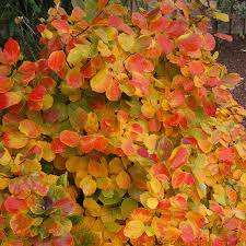 Flowering Shrubs That Like Full Sun - fothergilla gardenii is multi seasonal shrub that makes a perfect