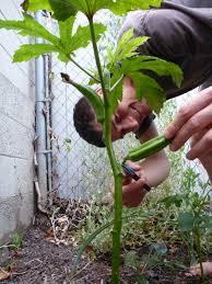 small plant supports borage life in our little la garden