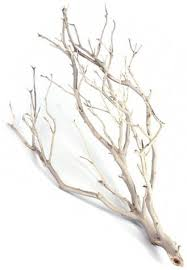 manzanita branches for sale manzanita branches and grapewood shipped to you chameleon forums