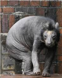 Hairless Bear Meme - watashi to tokyo news trend