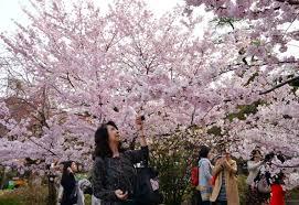 where to see cherry blossom around the world travel