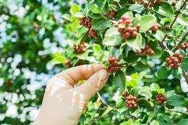 free stock photos of coffee plant pexels