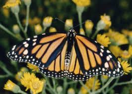 danaus plexippus the monarch butterfly homeopathyonline