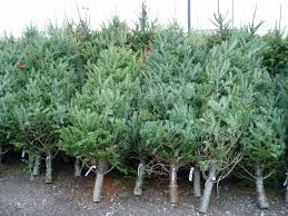 mark cullen garden guru choose the right christmas tree