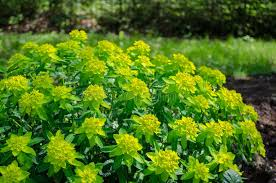 green ornamental foliage garden shrub stock image image of lawn