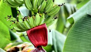 ornamental banana plant propagation care garden guides