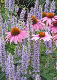 native african plants purple coneflowers native grace and beauty in the garden the