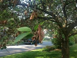 kwanzan cherry tree with possible blight ask an expert