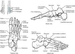 Anatomy Of The Calcaneus Bones Of The Lower Limb Anatomy And Physiology I