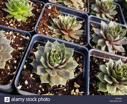 succulent plants pots stock photos u0026 succulent plants pots stock