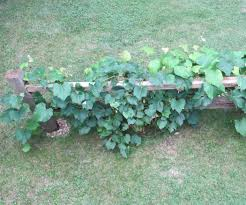 grape vine trellis from a salvaged split rail fence 7 steps with