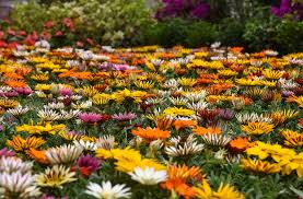 photo gallery dazzling collections of flowers in egypt u0027s annual