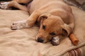 american eskimo dog giving birth spokane wa labrador retriever meet sydney a dog for adoption
