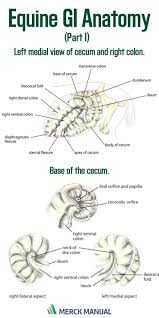 255 best horse health u0026 anatomy images on pinterest horse