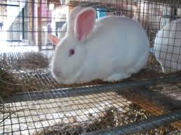 Rabbit Hutch Plans For Meat Rabbits Clear Creek Rabbit Barn