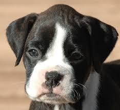 boxer dog reverse brindle boxer puppies
