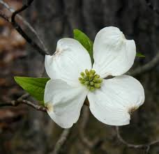 white flowering dogwood dogwood trees bloom after serviceberries