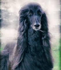 afghan hound pictures dark afghan hound image