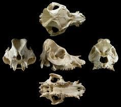 Backyard Skulls Things To Make And Do Part 1 Pig Skull Off Topic Sauropod