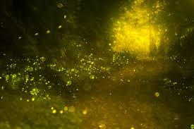 How Do Fireflies Light Up Synchronous Fireflies In The Smoky Mountains National Park