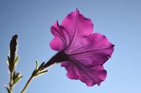 imagenes flores bellisimas 22 petunias bellísimas coloridas hd flores hermosas gratis