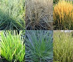 6 mixed evergreen ornamental grasses hardy perennial plants