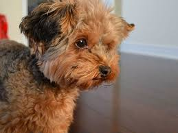 25 marvelous yorkie poo pictures slodive