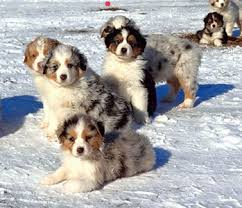 australian shepherd york northridge australian shepherds australian shepherds in ohio