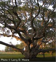 buy affordable live oak trees at our nursery