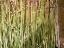 manitoba native plants canadian native sweetgrass running bear totally canadian