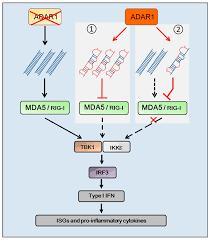 genes free full text rna editing adar1 and the innate immune
