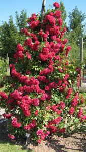 251 best roses climbing images on pinterest climbing climbing