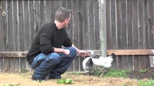Chicken Backyard by Light Brahmas The Right Chicken For Your Backyard Youtube
