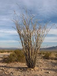 arizona native plants growing wild ocotillo fouquieria splendens u2014 edible baja