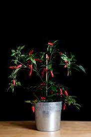 Indoor Vegetable Container Gardening - indoor vegetable garden at tufts helps feed homeless indoor