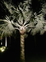Landscapelightingworld Com by Lighting Palms At Night Discussing Palm Trees Worldwide Palmtalk