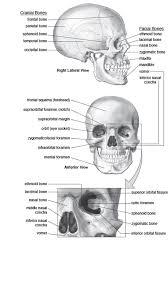 Anatomy And Physiology Of Speech Skull Cranium And Bones