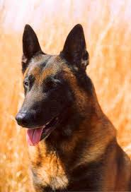 belgian shepherd rescue dogs tribute and memorial to the search and rescue dogs of 9 11 words